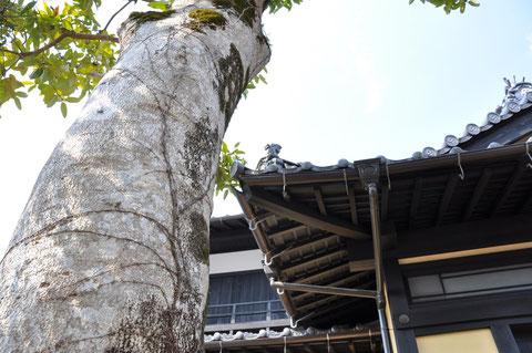 玄関脇のタラヨウ樹(手紙の木)