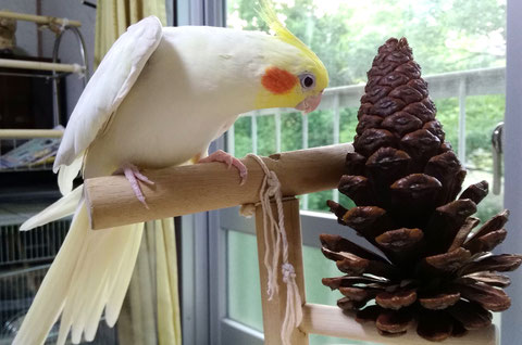 鳥用 天然木 おもちゃ(パインコーン)