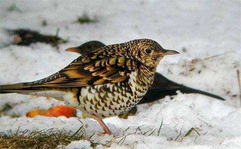 http://www.birds-of-denmark.dk
