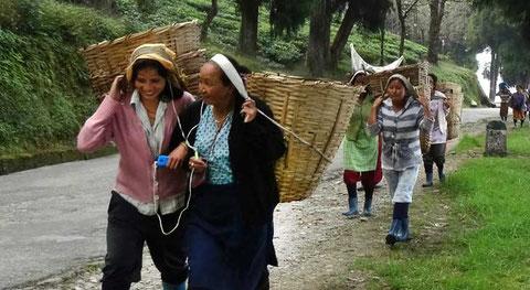 Tee-Ernte in Sikkim