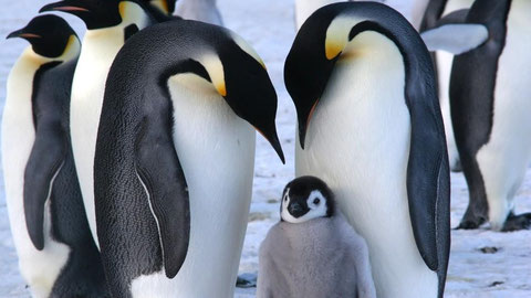 Click for Emperor Penguin - National Geographic