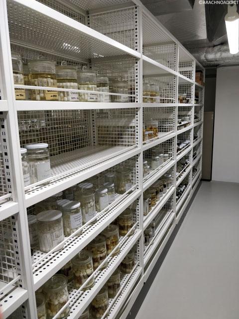 Spinennsammlung im Senckenberg Institut