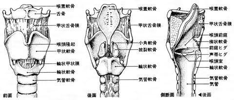 喉頭の各部分の名称