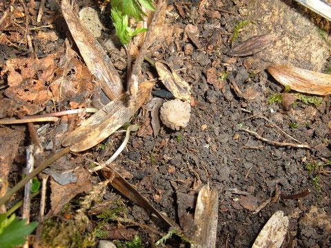 Mirophora semilibera