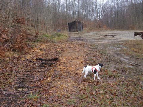 hier ein Holz Lagerplatz im Ellenser Wald . Im Herbst wurden hier Stämme verarbeitet,jetzt wachsen hier die Trompeten Schnitzlinge (Die übrigens eine beachtliche Größe erreichen können ) Hut 8cm