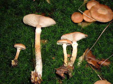 roh giftig,auch ungenügendes Kochen oder auch überalterte Pilze können Vergiftungen herbeiführen !!