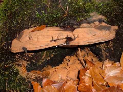 Flacher Lackporling   Ganoderma  lipsiense