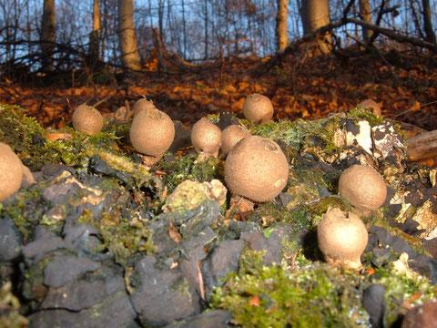 Birnenstäubling  Lycoperdon piriforme  in Laub und Nadelwald auf Totholz ,häufig . Habe ihn das ganze Jahr nicht beachtet,jetzt fällt er mir überall auf !