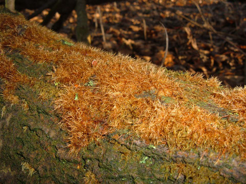 Ozonium eines Tintlings ! Das Ozonium ist an die Oberfläche getretenes Mycel des Haus Tintlings, lat . Coprinus domesticus oder des Strahlenfüßigen Tintlings lat.C.radians !