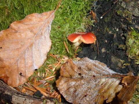 Erster oder letzter ? Egal, für mich ein toller Fund am 26.12.08 im Buchenwald ! Ein scharf schmeckender Täubling  Russula (Speitäubling ? )