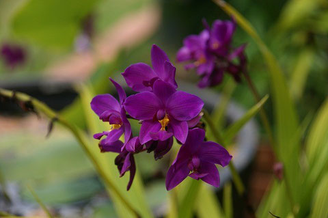 "I started propagation of Spathoglottis called ""Grape Orchid"" in 2009."