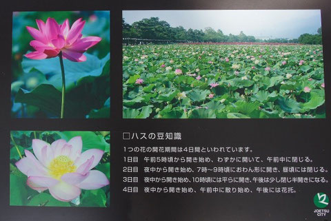Life cycle of the lotus flower trivia koloa jodo mission life cycle of the lotus flower trivia mightylinksfo