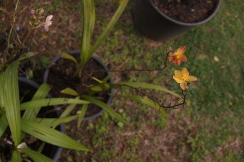 Spathoglottis Orange.