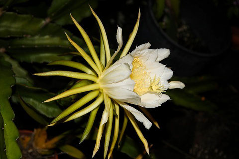Night Blooming flower!