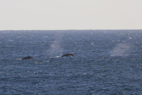 They never showed me breaching but glad to see their blowings since I saw them last time in March this year.
