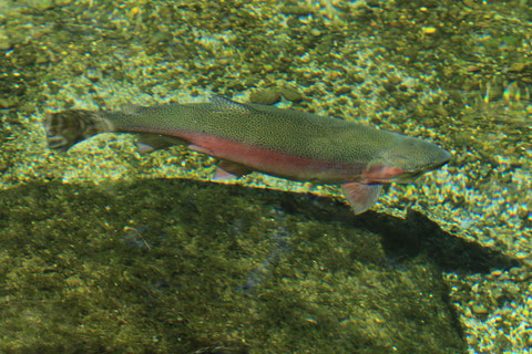 Enthaltene im Gammarus Astaxanthin stärkt Immunität der Tiere, gibt dem Fischfleisch kräftige Lachsfarbe und macht es fest.