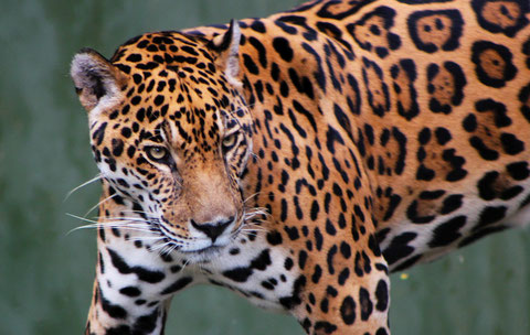 Jaguar (Panthera onca).  Photo Cristobal Alvarado