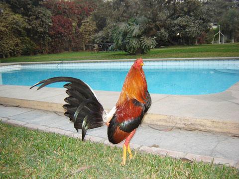 gallo El Principe