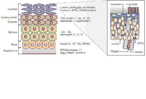 図3.羊膜類の表皮構造と主要構成たんぱく質