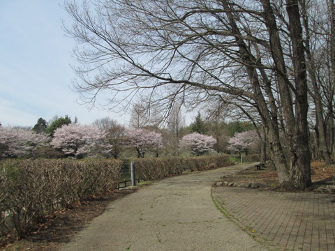 桜/自然の森総合公園/鹿沼総合体育館フォレストアリーナ/春/花