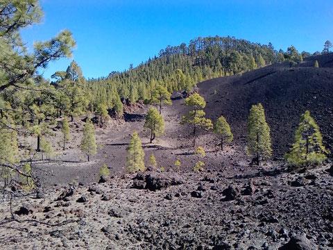 Pionierwald auf vulkanischer Schlacke am Mt. Teide (Teneriffa)