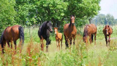 Unsere Hengste leben ganzjährig mit in der Herde, hier Damien & seine Damen