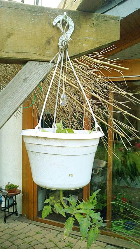 schließlich noch meine vertical growing tomato mit Gurke oben im Kasten