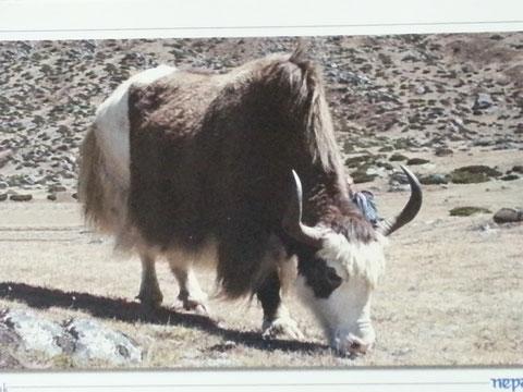 Yak, Nepal - nur das ausgekämmte feine Unterhaar wird zur Yakwolle verarbeitet