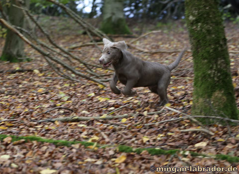 Silberner Labrador