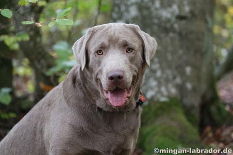 Silberner Labrador Rüde Paddy