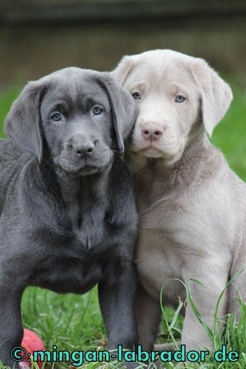 Labrador Farben Charcoal