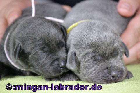 light charcoal Labrador Welpe & mingan light charcoal Labrador Welpe (aus dem selben Wurf!!)