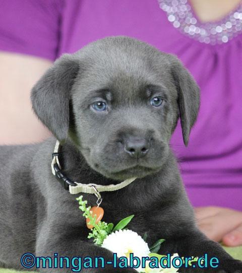 charcoal Labrador Welpe