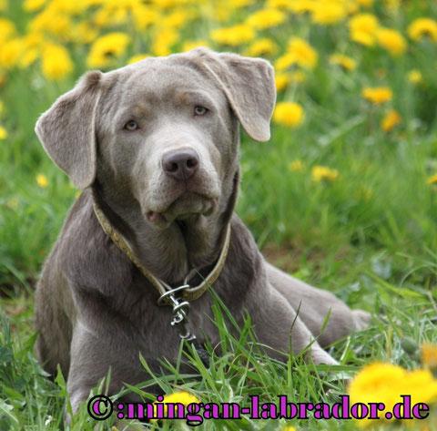 Silberne Labrador Hündin