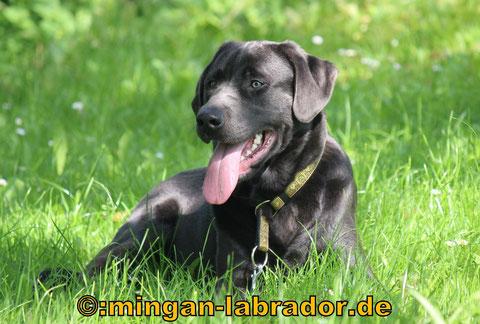 Charcoal Labrador Deckrüde Samu, ein Traum in Wesen, Gesundheit und Aussehen!!!