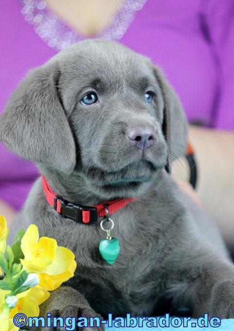 Light mingan® charcoal Labrador Welpe mit 7 Wochen