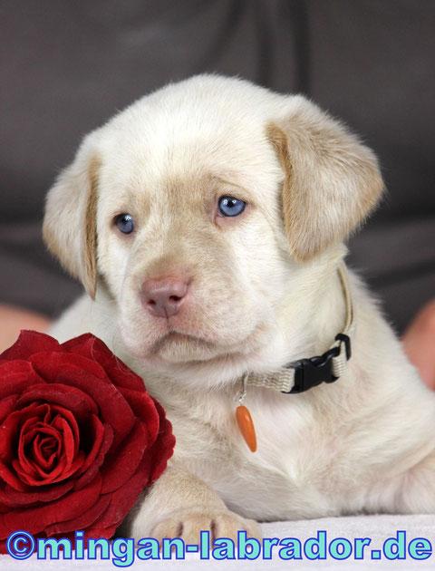 champagner Labrador Welpe