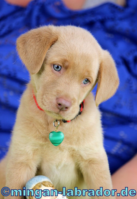 Red Champagner Labrador Welpe mit 6 Wochen