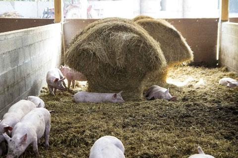 cochons sur paille ferme de la mare meslay lamballe Saint-brieuc cotes d'armor bretagne charcuterie ferme