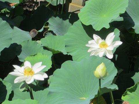 蓮の花ってどうしてこんなに美しいのでしょう。源氏の方の池なので白。光を浴びて発光しているように見える^^絵に描きたい