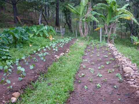 3 planches de 10m2: tarot, canavalia et plants de tomates, aubergine et basilic