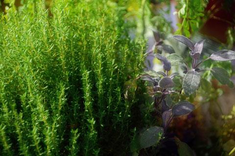 thym,sauge,ciboulette,persil,aménagement d'un jardin aromatique