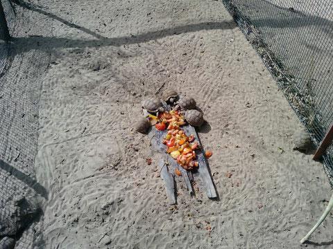 les bébés tortues lors du repas (tomates)