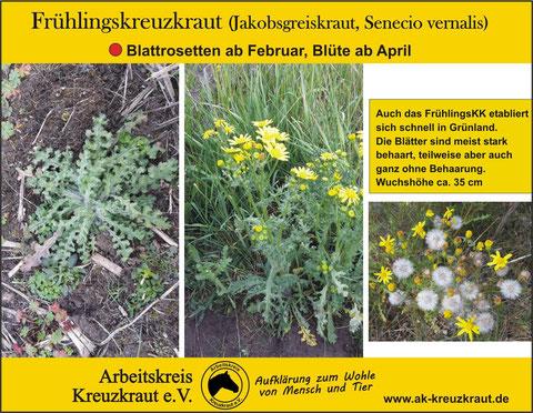 Frühlingskreuzkraut, -greiskraut (Senecio vernalis)