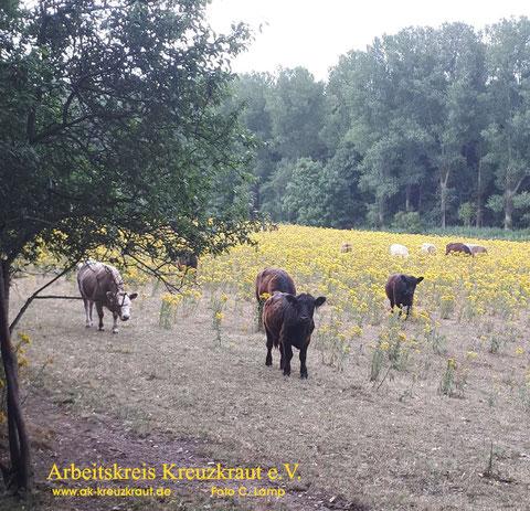 JKK Jakobskreuzkraut Rinder in Gefahr