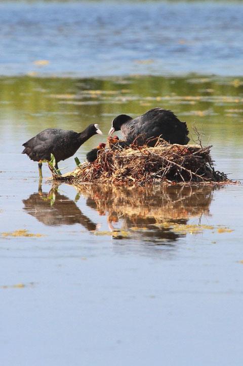 Foulques au nid