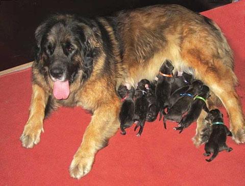 Bella mit ihren D-Wurf Babys in der ersten Woche