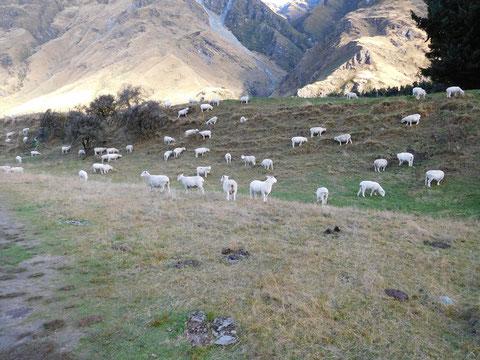 ロブロイ氷河羊