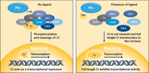 Figure 1. The Hedgehog Signaling Pathway  (left) Ptc represses Smo, preventing the activation of Hedgehog signalling via proteolytic cleavage of Ci. Cleavage results in a repressor form of Ci, which enters the nucleus and inhibits Hedgehog target gene exp