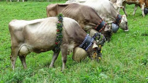 """Vieh-Herde mit """"Miriam"""" unserer Alpsieger-Milchkuh 2015"""